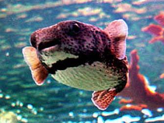 河豚型烟斗的来历History of Blowfish pipe (中文版)