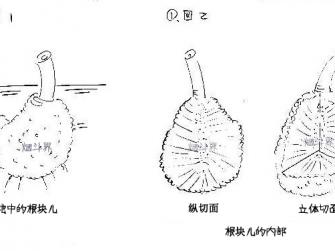 石楠根瘤的切割及石楠料的使用