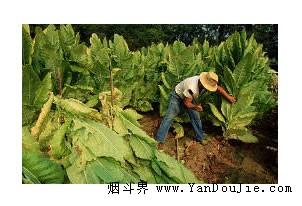 烟农收采烟叶