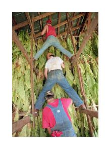 烟农正在把烟叶挂起干燥